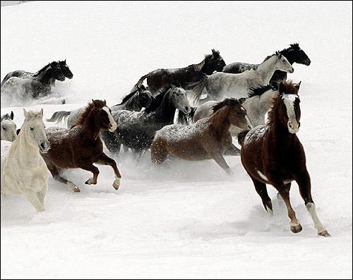 Табун лошадей, бегущий по белому снегу. Фото, фотография картинка