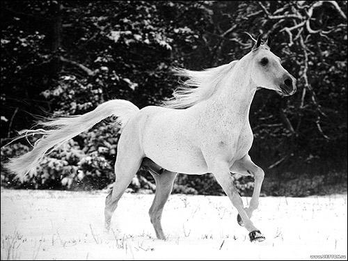 Белая лошадь скачущая по белому снегу. Фото, фотография картинка