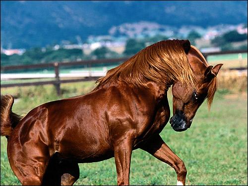 Арабская лошадь, жеребец Шах Азим. Фото, фотография картинка