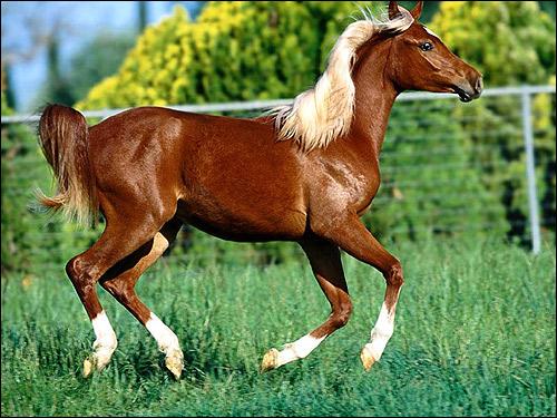 Гнедая лошадь со светлой гривой. Фото, фотография картинка