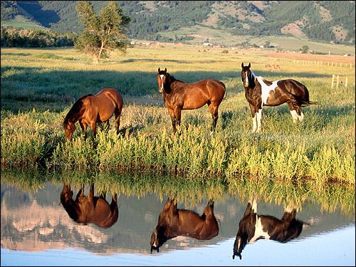 Лошади у воды. Фото, фотография картинка
