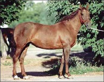 Локайская лошадь. Фото, фотография с Horseplanet.ru картинка породы лошадей