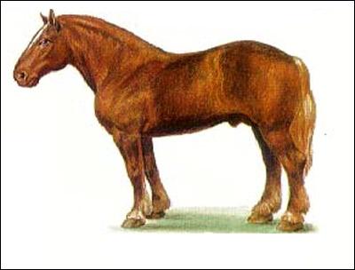 Советский тяжеловоз. Рисунок, картинка породы лошадей