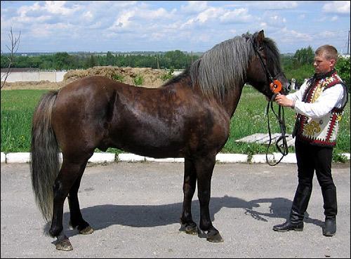 Гуцульская лошадь, гуцульский пони. Фото, фотография. Производители ТОВ Варто. породы лошадей