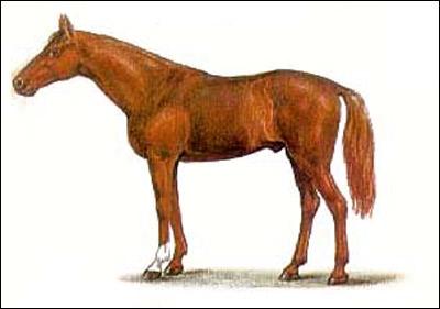 Донская лошадь. Картинка рисунок. Породы лошадей