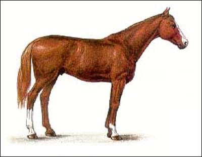 Чистокровная верховая лошадь. Картинка рисунок породы лошадей