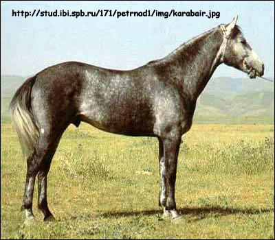 Карабаирская   лошадь. Фото, фотография картинка породы лошадей