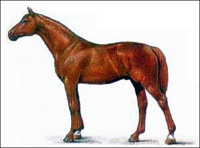Буденновская   лошадь. Картинка рисунок породы лошадей