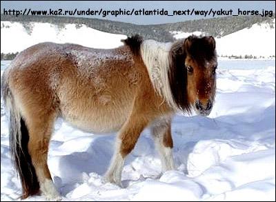 Якутская лошадь. Фото, фотография картинка, породы лошадей