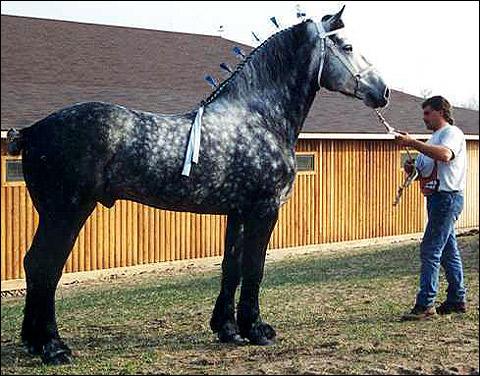 Першерон, першероннская лошадь. Фото, фотография картинка, породы лошадей