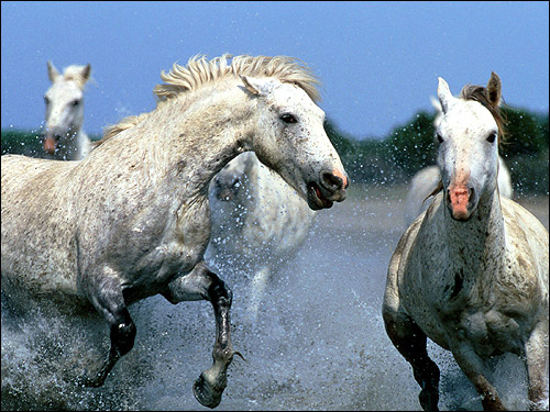 Лошади бегущие по воде. Фото, фотография картинка