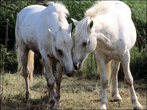 Две белые лошади. Фото, фотография картинка