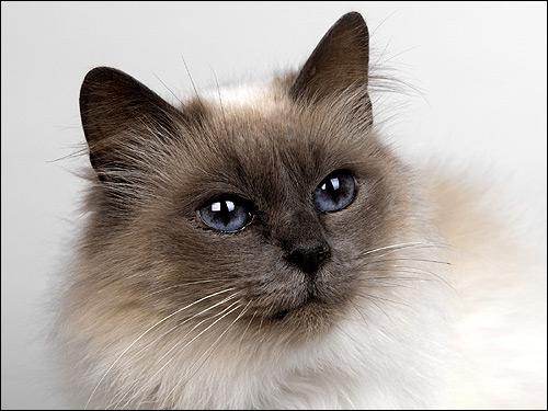 Гималайская кошка (?). Фото, фотография картинка