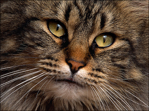 Морда кошки крупным планом. Фото, фотография картинка