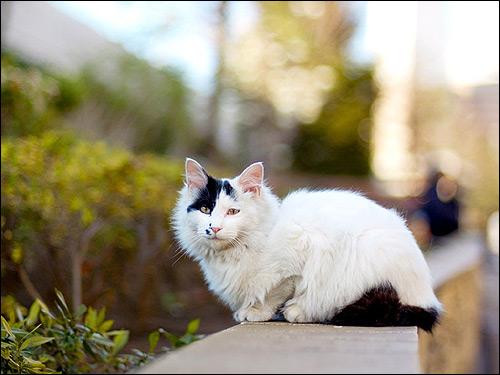 Белая полудлинношерстная кошка с черными пятнами. Фото, фотография картинка