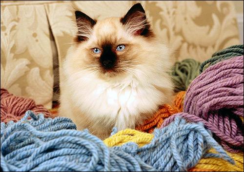 Гималайская кошка, породы кошек. Фото, фотография картинка
