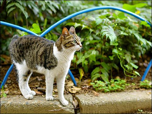 Европейская короткошерстная кошка. Фото, фотография картинка