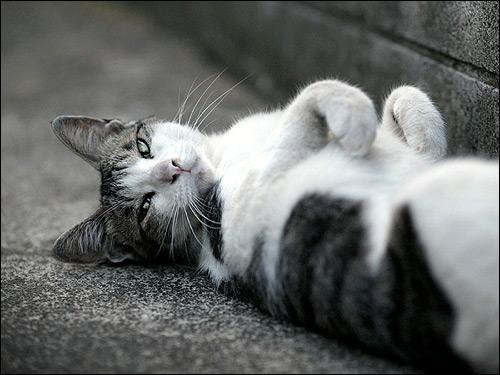 Кошка, лежащая на спине. Фото, фотография картинка животные