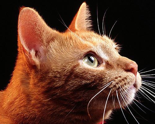 Голова рыжей кошки. Фото, фотография картинка
