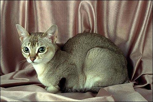 Сингапура, сингапурская кошка. Фото, фотография картинка