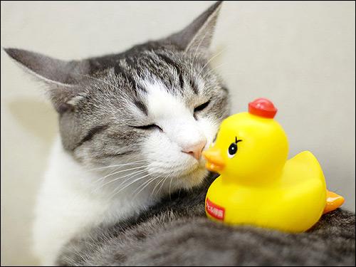 Кошка и игрушечный утенок. Фото, фотография картинка