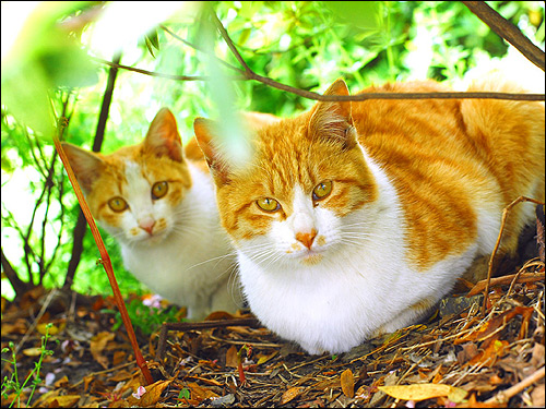 Две рыже-белые кошки на природе. Фото, фотография картинка