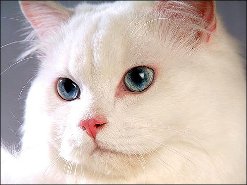Белая пушистая кошка с голубыми глазами. Фото, фотография картинка