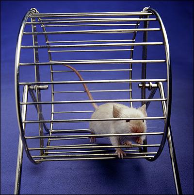 Домашняя крыса, бегающая в колесе. Фото, фотография картинка грызуны