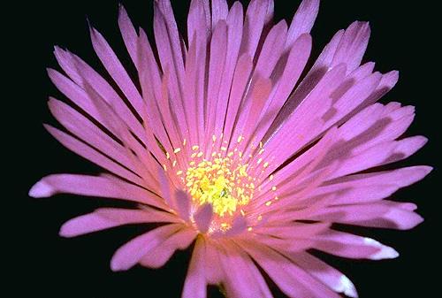 Фиолетовый цветок. Фото, фотография