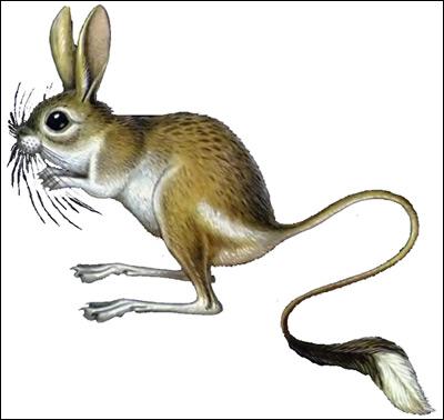 Большой тушканчик, земляной заяц  (Allactaga jaculus). Рисунок, картинка грызуны