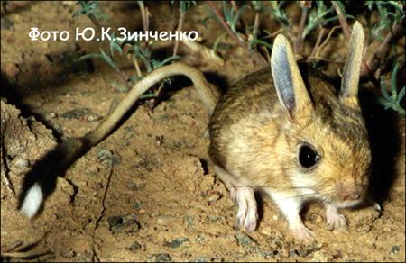 Малый тушканчик (Allactaga elater). Фото, фотография картинка грызуны