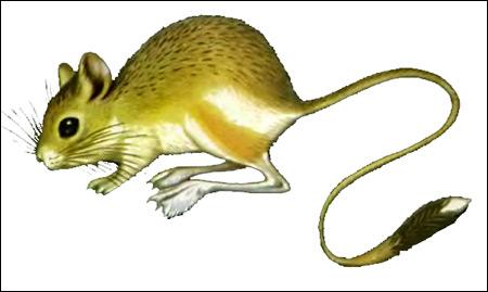 Мохноногий тушканчик (Dipus sagitta). Рисунок, картинка грызуны