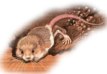 Пятипалый карликовый тушканчик (Cardiocranius paradoxus). Картинка рисунок грызуны