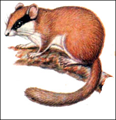 Лесная соня (Dryomys nitedula). Рисунок, картинка грызуны
