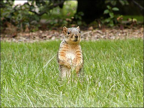 Белка. Фото, фотография картинка грызуны