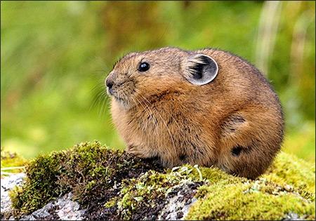 Северная пищуха, алтайская пищуха (Ochotona alpina). Фото, фотография картинка зайцеобразные животные