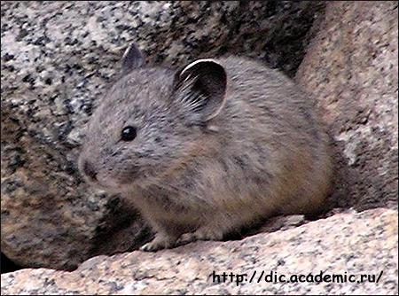 Степная пищуха, малая пищуха (Ochotona pusilla). Фото, фотография картинка зайцевые животные