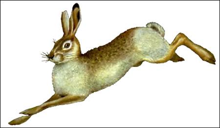 Заяц-русак (Lepus europaeus). Картинки, рисунок зайцеобразные