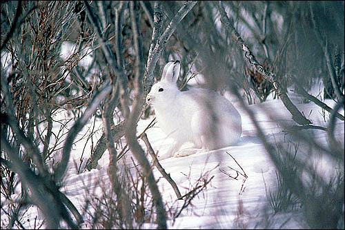 Тундровый заяц, аляскинский заяц (Lepus othus). Фото, фотография картинка животные