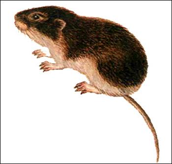Полевка-экономка (Microtus oeconomus). Картинка, рисунок грызуны