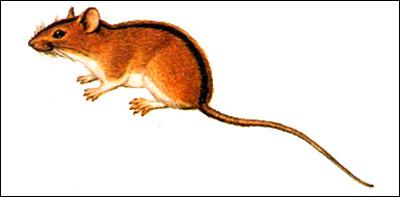 Полевая мышь (Apodemus agrarius). Рисунок картинка грызуны