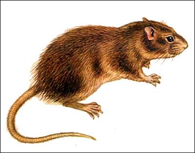 Индийская земляная крыса, пластинчатозубая крыса, незокия (Nesokia indica). Рисунок, картинка грызуны