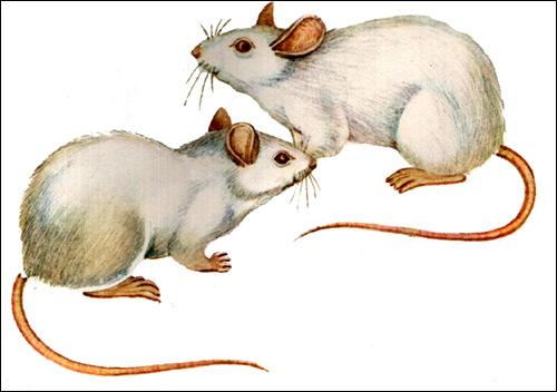Белые декоративные крысы. Рисунок, картинка грызуны