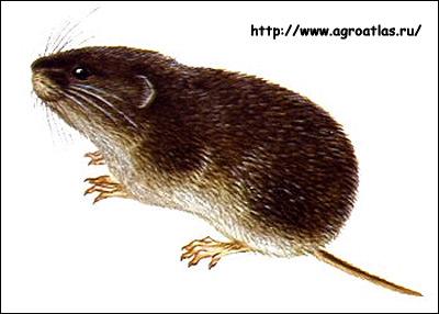 Большая полевка, дальневосточная полевка (Microtus fortis). Рисунок, картинки грызуны