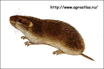 Стадная полевка, узкочерепная полевка (Microtus gregalis, Stenocranius gregalis). Рисунок, картинка грызуны