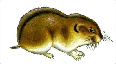 Обский лемминг, сибирский лемминг (Lemmus sibiricus). Рисунок, картинка грызуны