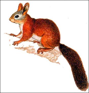 Обыкновенная белка (Sciurus vulgaris) летний мех. Рисунок, картинка грызуны