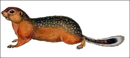 Длиннохвостый суслик (Citellus undulatus). Картинка, рисунок грызуны