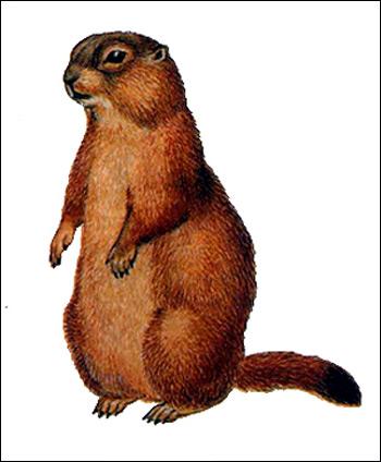 Длиннохвостый сурок, красный сурок (Marmota caudata). Рисунок, картинка грызуны