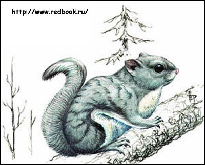 Летяга обыкновенная, или белка-летяга (Pteromys volans). Рисунок, картинка грызуны